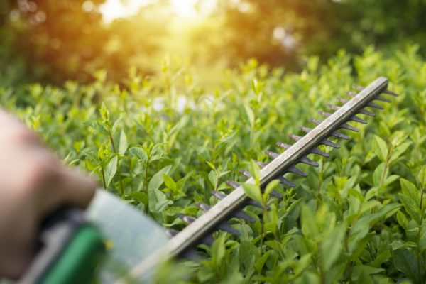 gartenpflege-Heckenpflanze-heckenrose