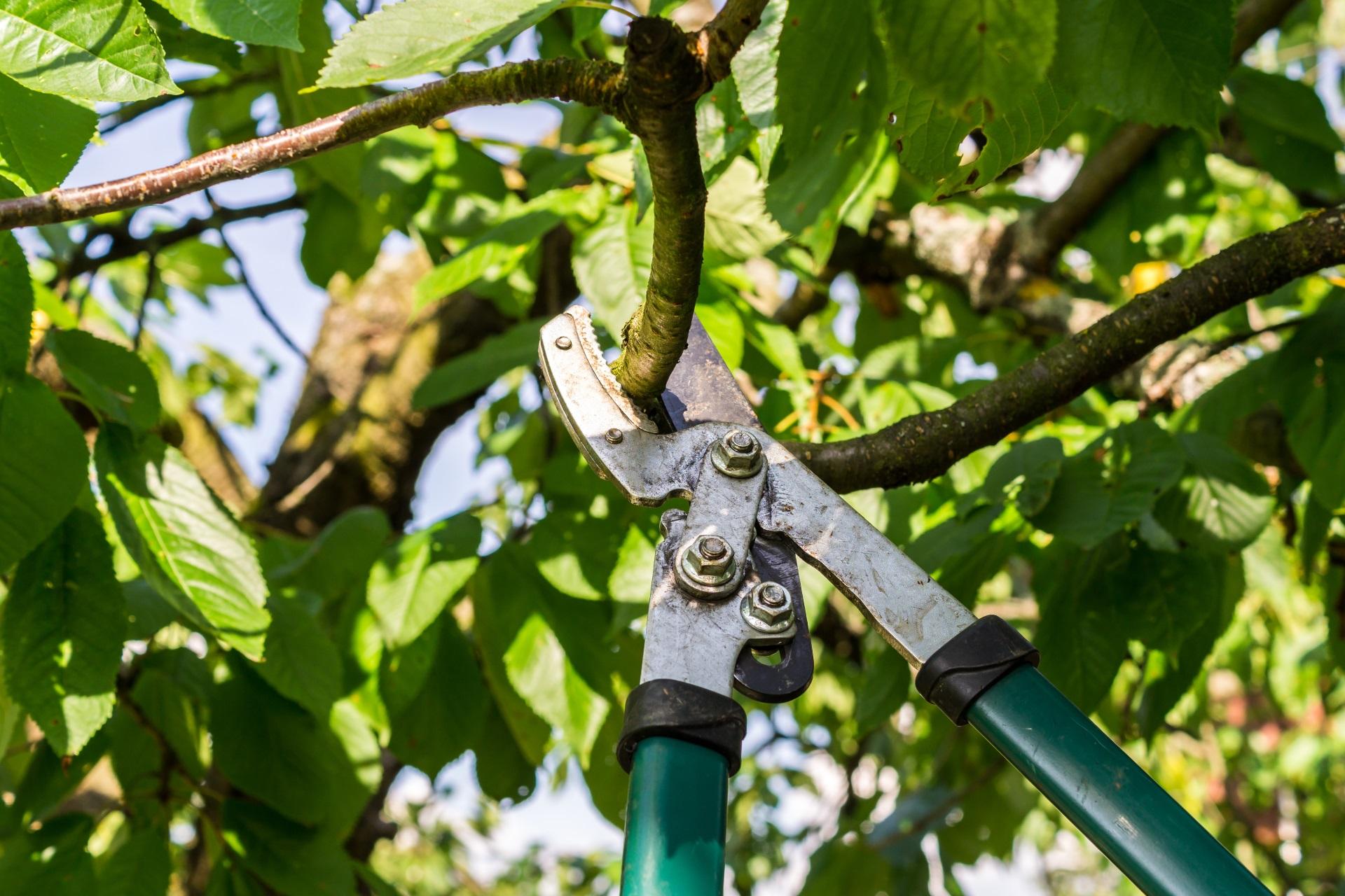 baumschnitt-apfelbaum-Kirsche