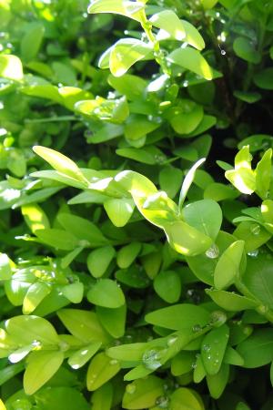 immergruene-heckenpflanzen