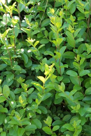 liguster immergrüne Hecke