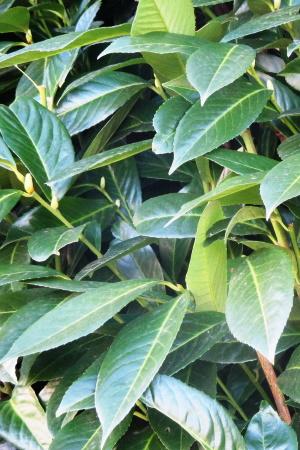 kirschlorbeer-umpflanzen