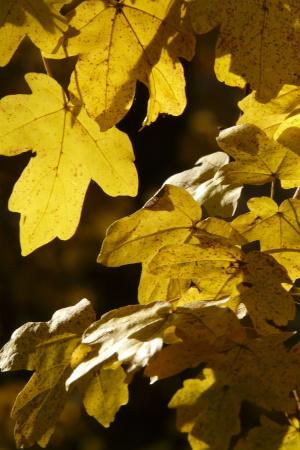 feldahorn-hochstamm-heckenpflanze