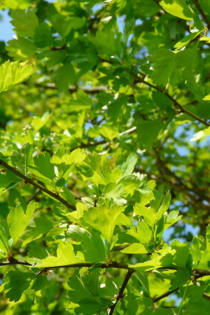 heckenpflanze-heckenpflanzen